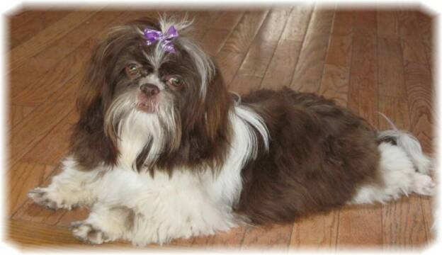 Shihtzu Puppies for Sale in Ohio